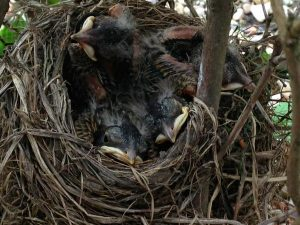 Baby Robins Outside Edwards Group